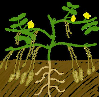 ラッカセイ(落花生)のさやは土の中にできる