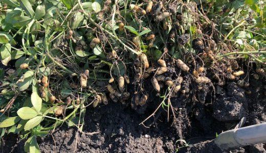ラッカセイ(落花生)の栽培方法・育て方のコツ