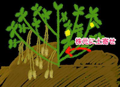 ラッカセイ(落花生)の土寄せ
