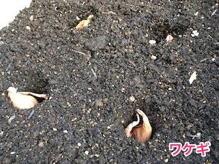 ワケギ(分葱)の種球を植え付け