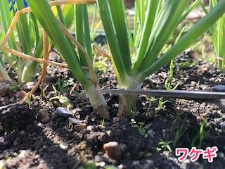 ワケギ(分葱)の葉を切って収穫