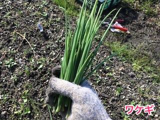 収穫したワケギ(分葱)