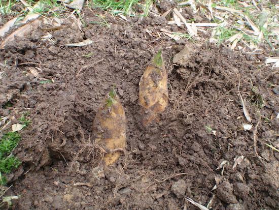 周りを掘る - タケノコ掘り