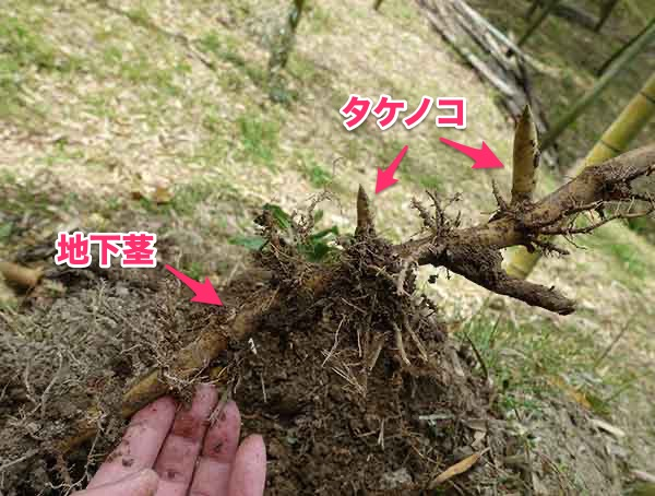 竹の地下茎からタケノコが生えている