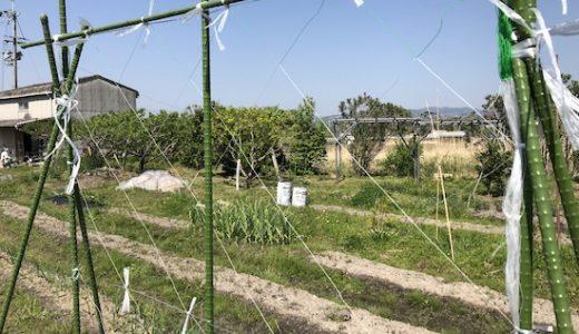 園芸ネット、きゅうりネットの張り方