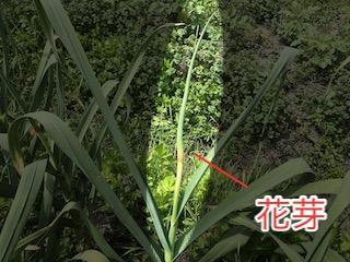 ニンニクの花芽