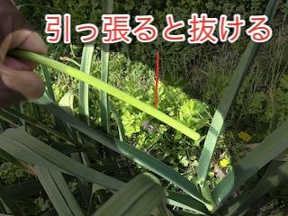 摘み取った花芽はニンニクの芽として食べられる