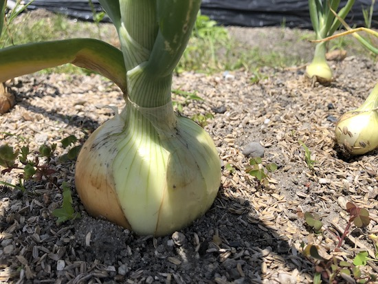 新玉ねぎの収穫
