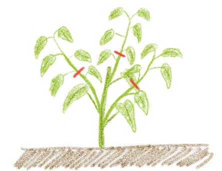 空芯菜はわき芽を収穫する