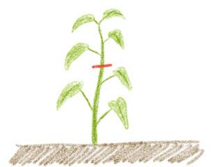 空芯菜の摘心
