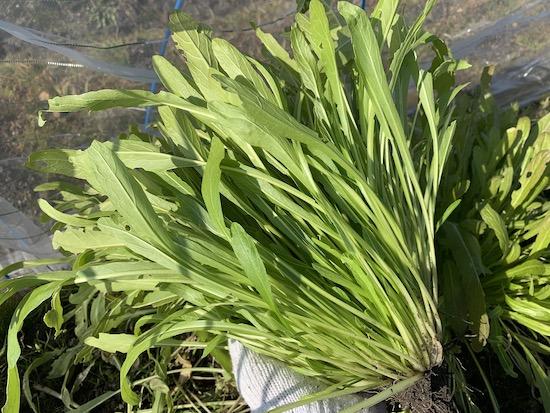 ミブナ(壬生菜)の栽培