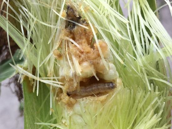 トウモロコシを食害するアワノメイガ