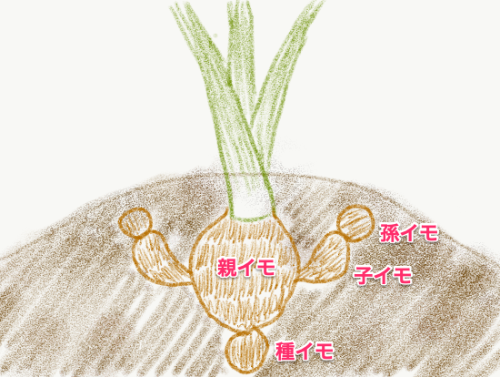 里芋は種イモより上につく