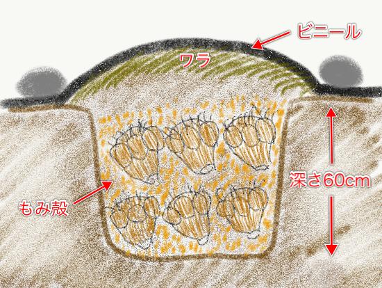 サトイモを土に埋めて保存する方法