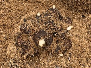 貯蔵して発芽したサトイモの種イモ