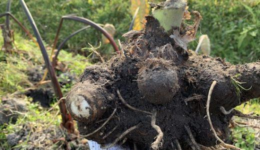 サトイモ(里芋)の栽培方法・育て方のコツ