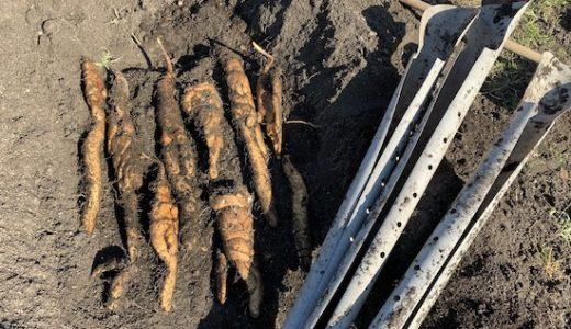 ヤマイモ(山芋・長芋・自然薯)の栽培方法・育て方のコツ