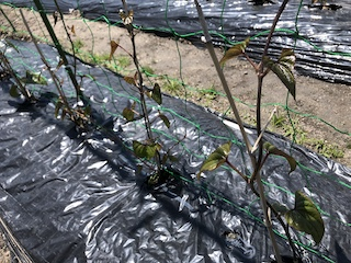 ヤマイモのつるをネットに誘引