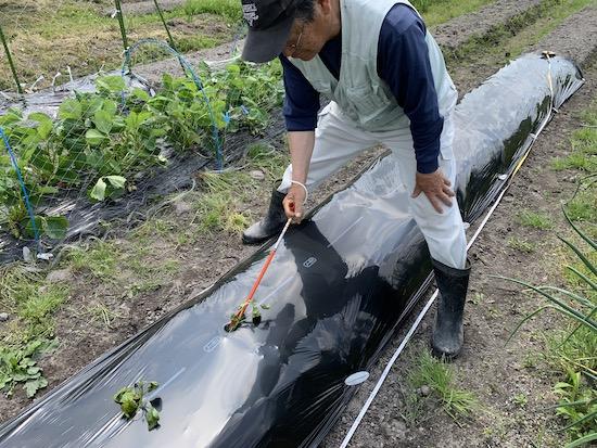 立ち作業でさつまいも苗の植え付けが行える