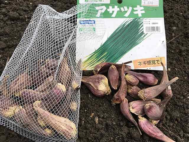 アサツキ(浅葱)の種球を1球ずつに分ける