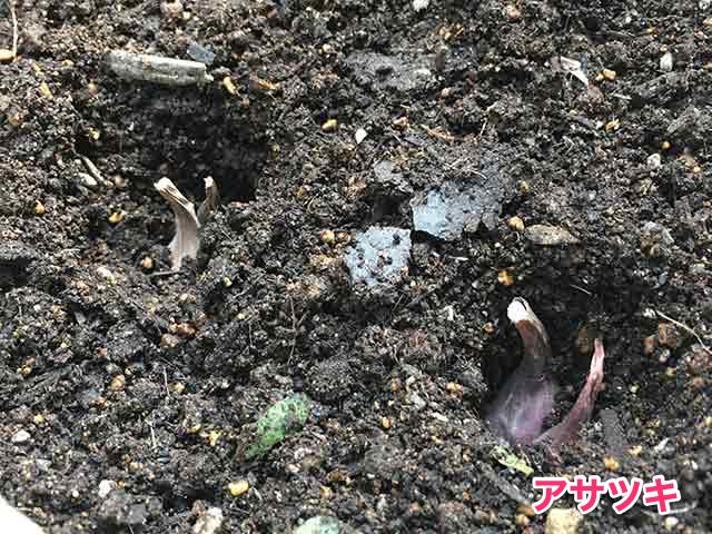 アサツキ(浅葱)の種球を植え付け