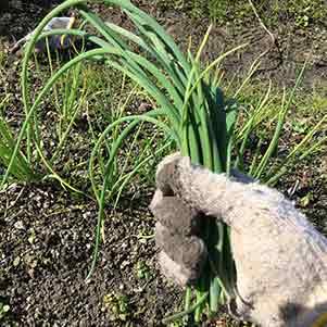 アサツキ(浅葱)の栽培方法