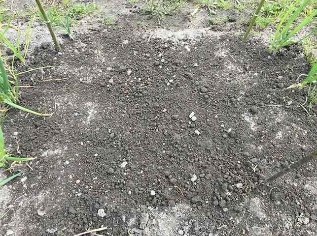 アスパラガス苗に覆土