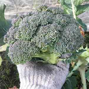 ブロッコリーの栽培方法