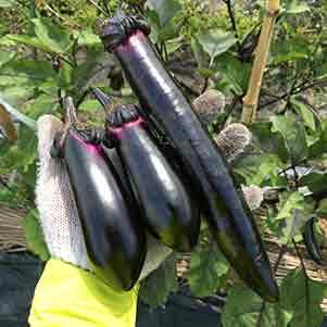 ナス(茄子)の栽培方法