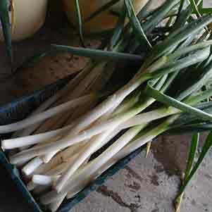 長ネギ(白ネギ・根深ネギ)の栽培方法