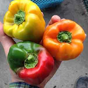 ピーマン・パプリカの栽培方法