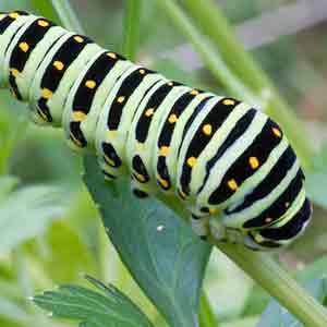 アゲハチョウ類の特徴と対策・予防法