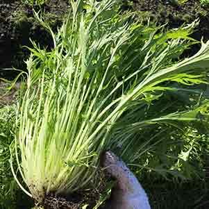 ミズナ(水菜)の栽培方法
