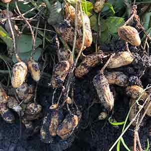 ラッカセイ(落花生)の栽培方法