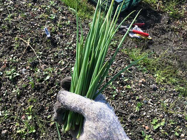 アサツキ(浅葱)・ワケギ(分葱)の栽培方法・育て方のコツ
