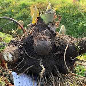 サトイモ(里芋)の栽培方法