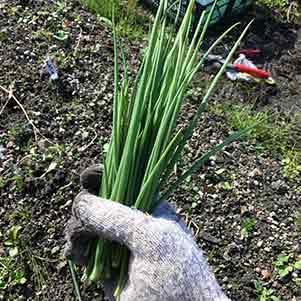 ワケギ(分葱)の栽培方法