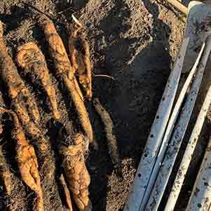 ヤマイモ(山芋・長芋・自然薯)の栽培方法