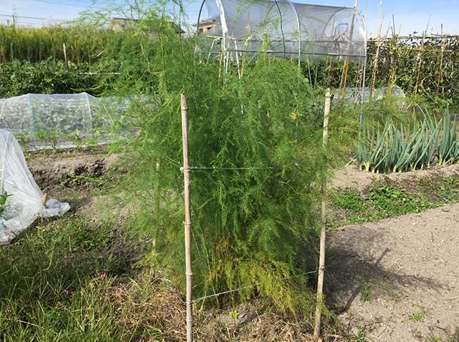 アスパラガスの栽培の様子