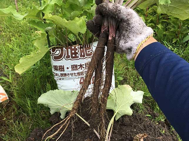 ゴボウの収穫(袋栽培)