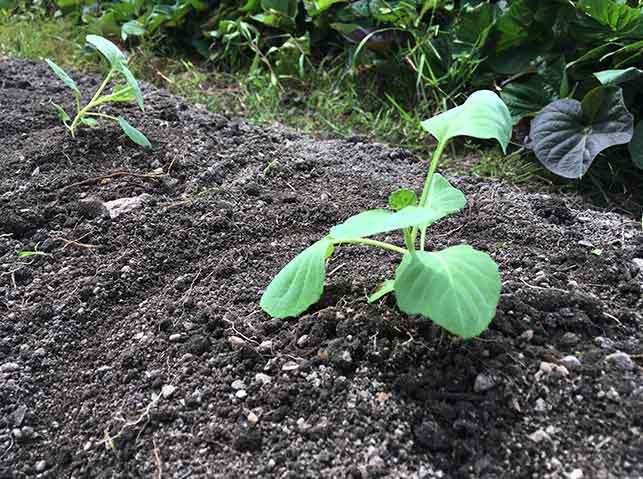 キャベツ苗の植え付け