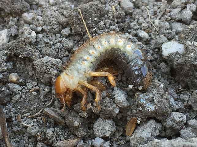 ドウガネブイブイ(コガネムシ)の幼虫