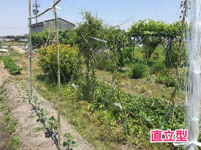 キュウリ栽培の直立型支柱