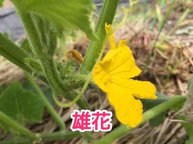 キュウリの雄花
