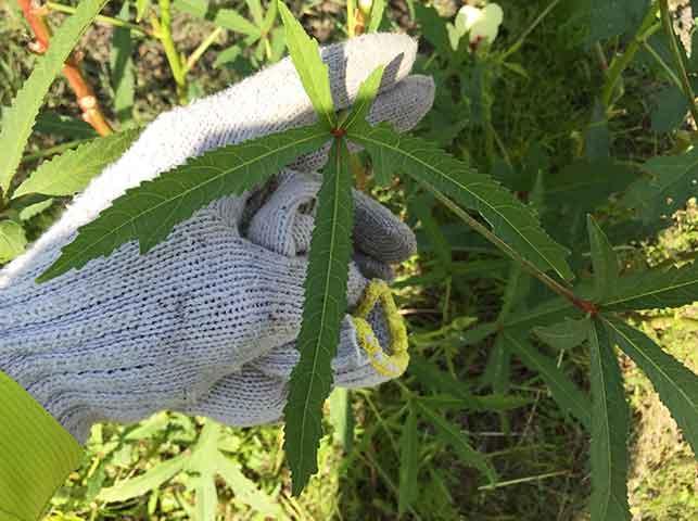 肥料切れで細くなったオクラの葉