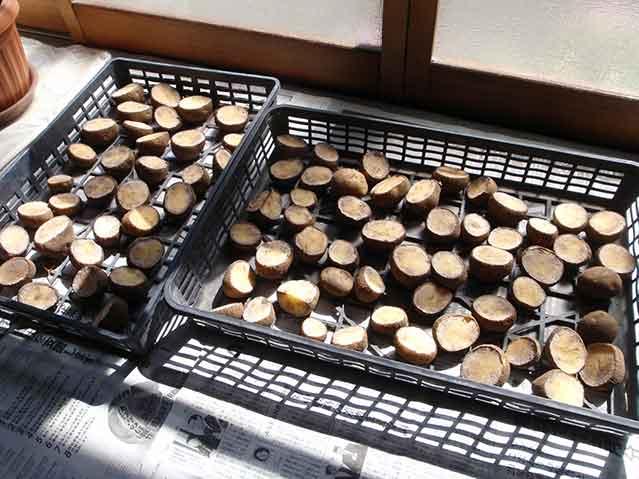ジャガイモの種芋を切って乾かす