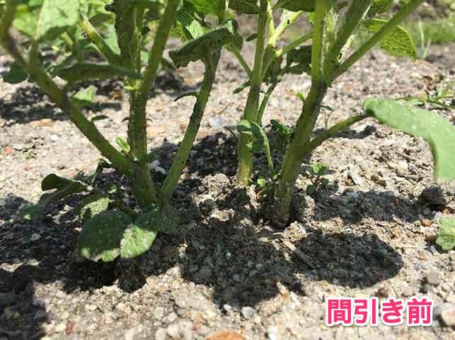 ジャガイモの芽かき(間引き前)