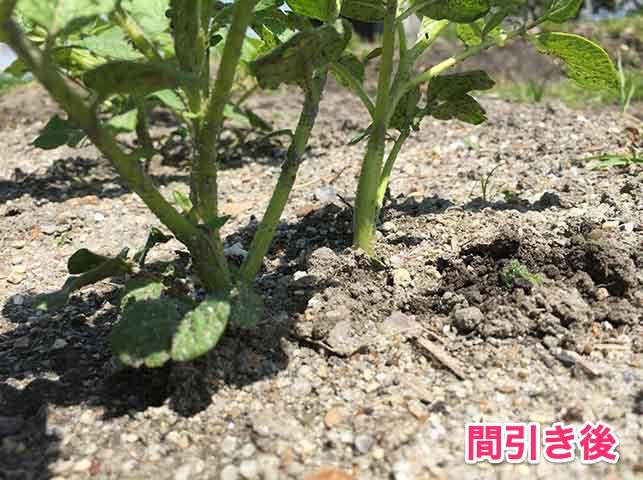 ジャガイモの芽かき(間引き後)