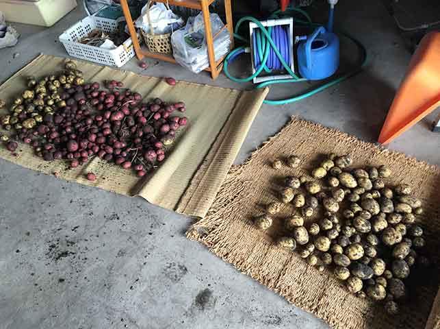 収穫したジャガイモを陰干し