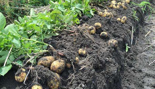 ジャガイモの栽培方法・育て方のコツ